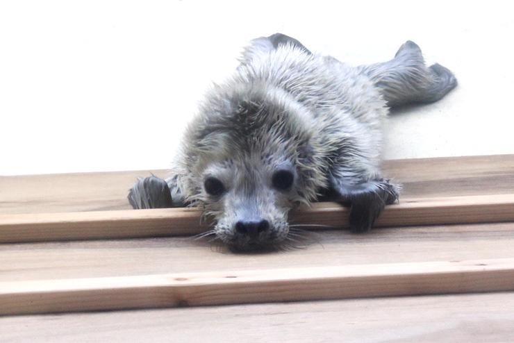 白い毛に覆われ、プールを動き回るゴマアザラシの赤ちゃん
