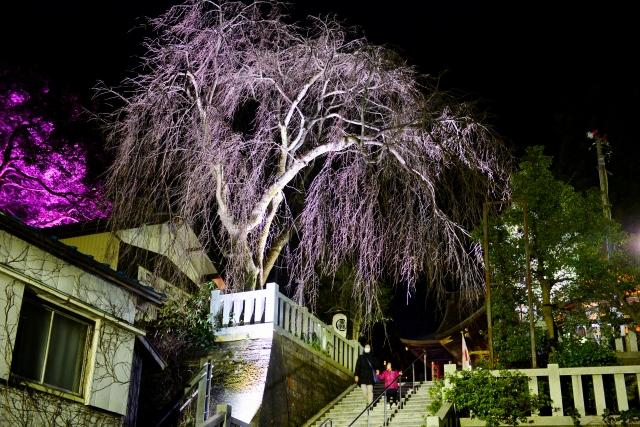 開花を前に、美しくライトアップされたしだれ桜=21日夜、福井県福井市毛矢3丁目の毛谷黒龍神社