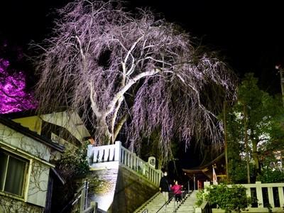 樹齢100年超のしだれ桜 LEDでライトアップ 福井・毛谷黒龍神社