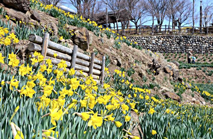 州国際音楽村で黄色い花を咲かせたスイセン