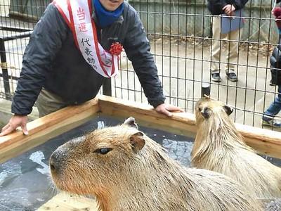 カピバラ「光」が1位 須坂市動物園の代表選挙