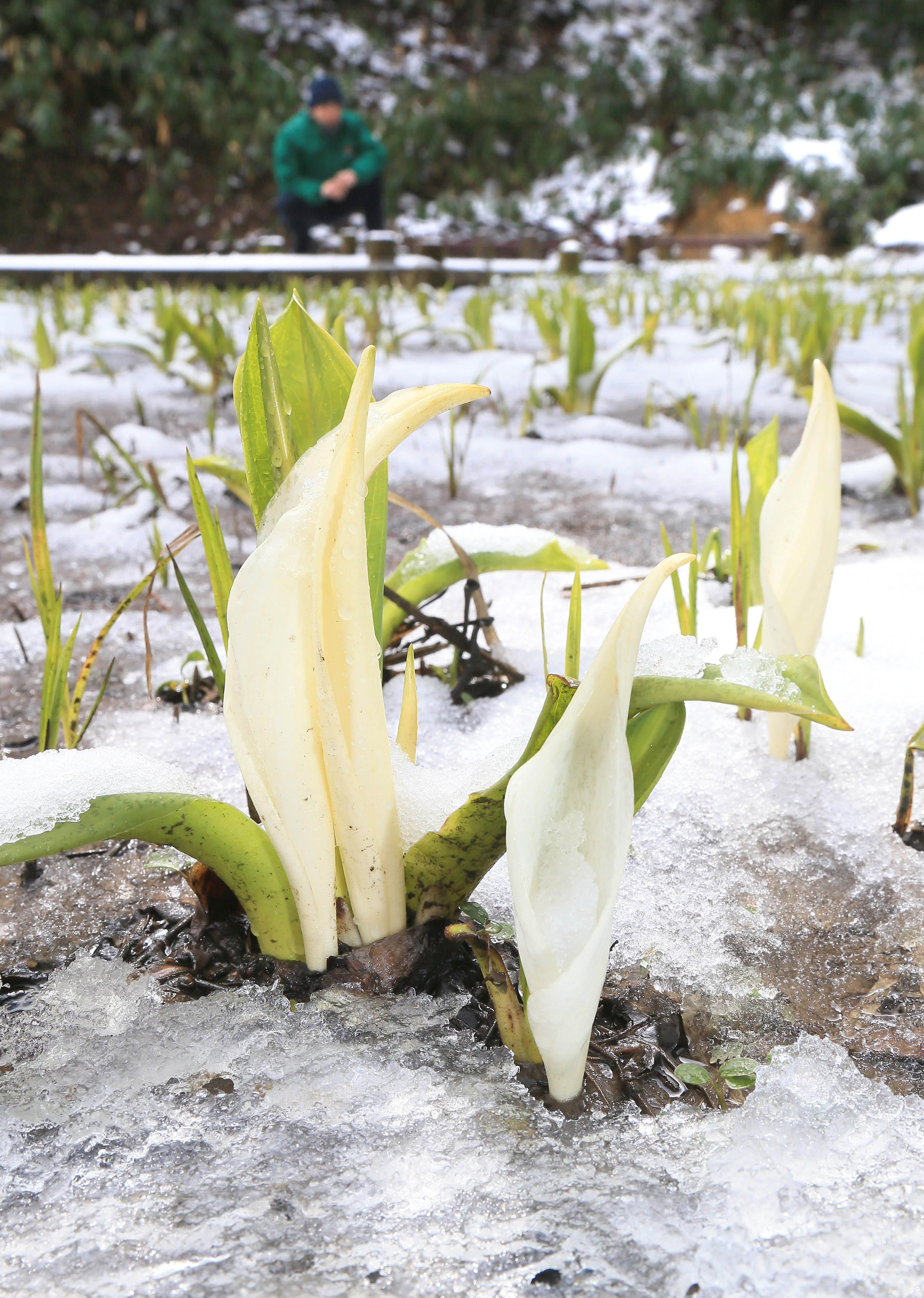 うっすらと雪が残る中、咲き始めたミズバショウ=25日午前10時、金沢市東原町