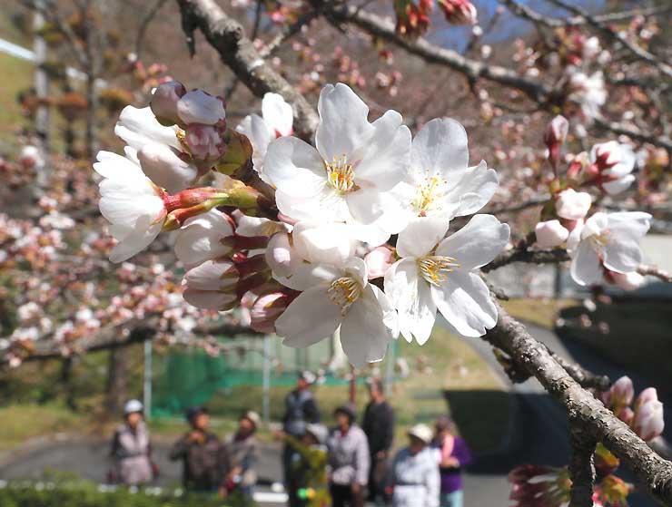 暖かな陽気の中で次々とほころぶソメイヨシノ=27日午後0時59分、天龍村