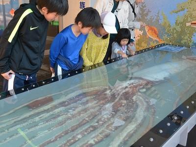 ダイオウイカ、坂井で展示 全長6メートル超に驚きの声