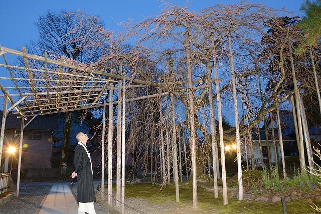 ライトアップが始まったしだれ桜=27日、福井県越前市本町の大寶寺