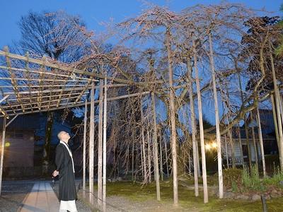 もうすぐ満開のしだれ桜を光で演出 越前市・大寳寺
