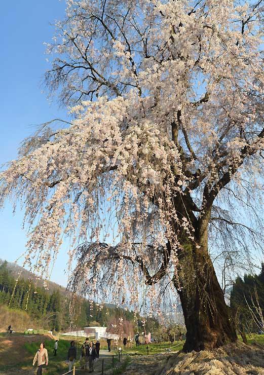 高山村の「水中のしだれ桜」=2014年4月