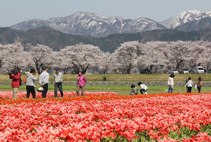 桜やチューリップの花が咲き誇る舟川べり周辺(2014年)