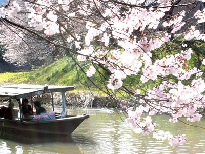 流し舟から桜楽しむ 旧大聖寺川で見頃
