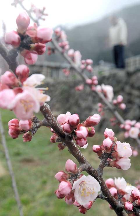 ピンク色の花を咲かせ始めた長野市松代町東条のアンズ