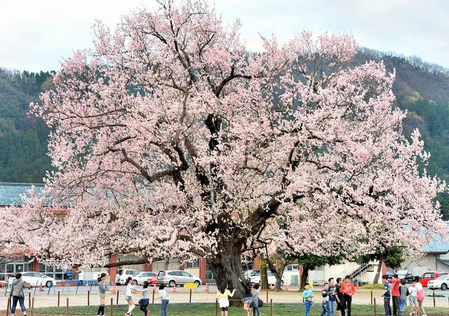 校庭の真ん中でピンクの花を咲かせる桜の巨木=3日、越前市味真野小