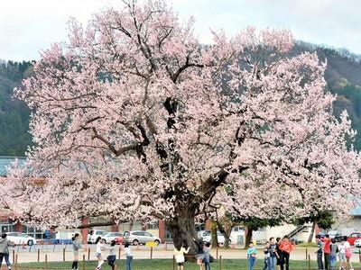 校庭桜、一気に春色 越前市味真野小 好天続き 福井で満開宣言