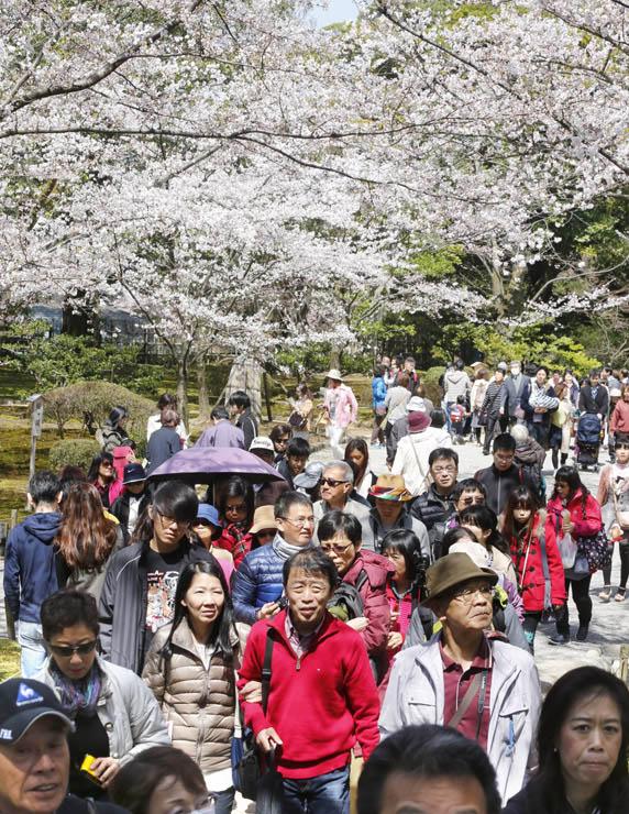 満開直前となった桜の下、散策を楽しむ来園者=4日午前11時20分、兼六園