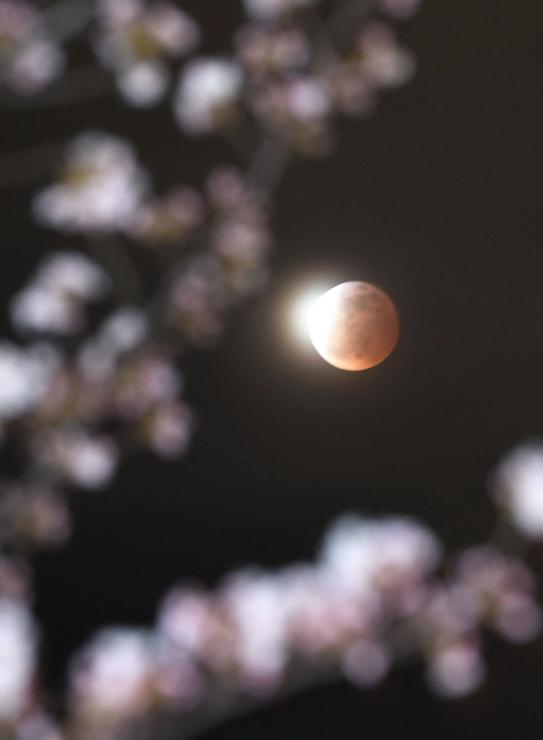 松本城外堀で開花した桜のはるか上空で、皆既食の状態が終わって地球の影から抜け出し始めた満月=4日午後9時23分、松本市