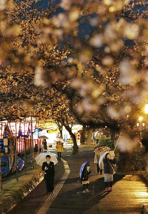 雨が降る中、ぼんぼりに照らし出された桜の花=3日、上越市の高田公園