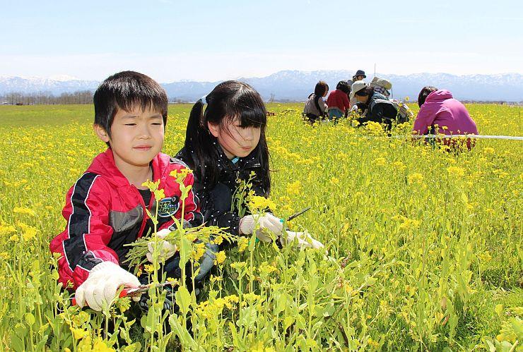 菜の花を刈り取り、迷路を作る子どもたち=4日、新潟市北区