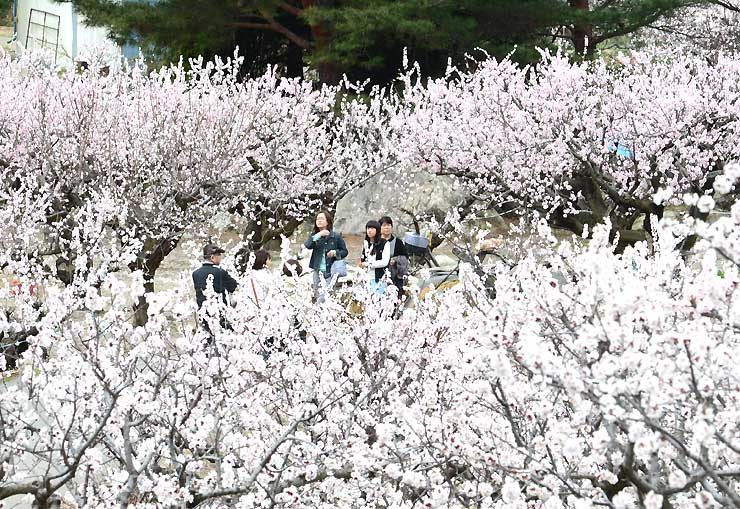 満開になったアンズの花を楽しみながら散策する観光客=6日午前10時48分、千曲市森