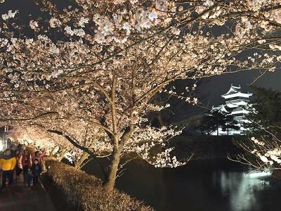 満開の夜桜、幻想的 松本城で7日から「光の回廊」