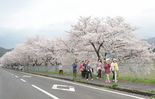 見ごろを迎えている桜並木を歩くツアー客ら=5日、福井県おおい町岡安