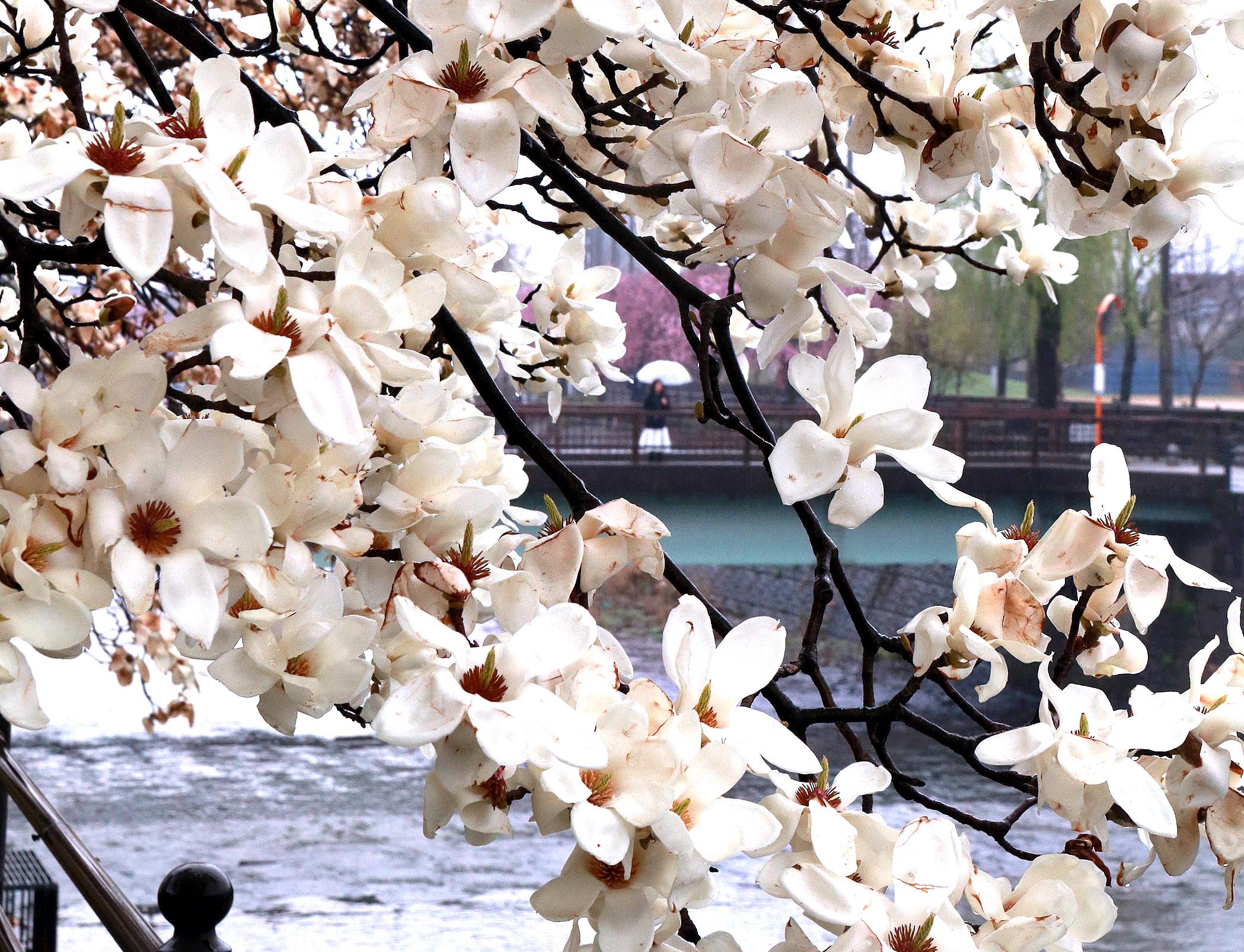 雨にぬれ、しっとりと咲くハクモクレン=6日午前9時、金沢市の高橋川沿い