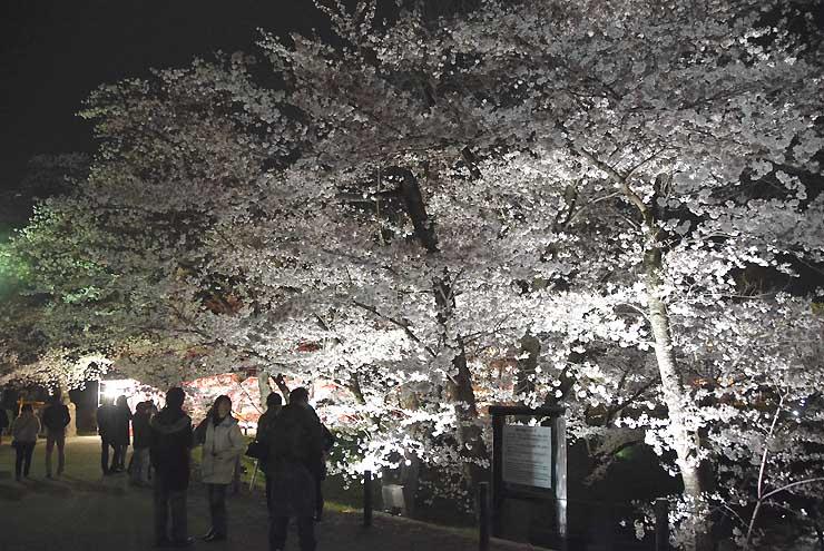 上田城千本桜まつりに合わせてライトアップされた上田城跡公園の桜=8日午後7時すぎ