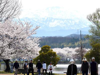 桜越しに白山くっきり 小松市の木場潟公園