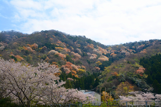 見頃を迎えている神子の山桜=9日、福井県若狭町神子