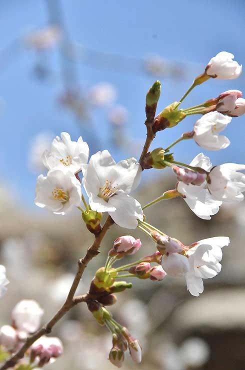 開花した懐古園のソメイヨシノ