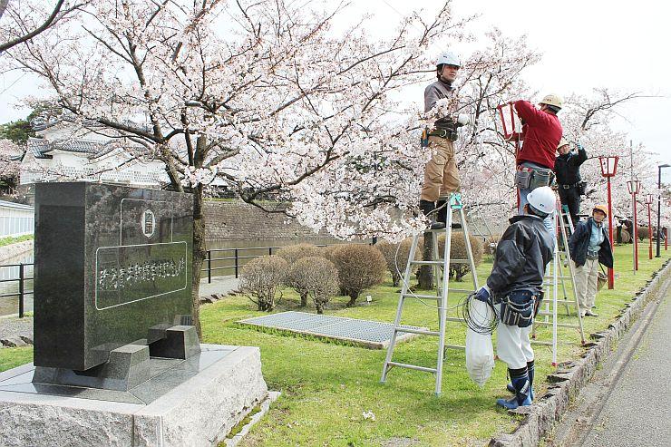 春まつりを控え、ぼんぼりが設置された新発田城址公園=8日、新発田市