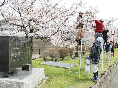 新発田の桜手招き 10日から春まつり 名産品フェアも