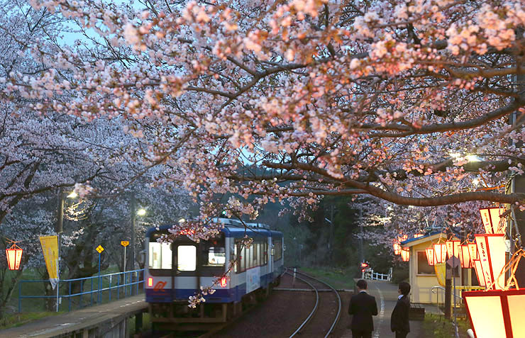 ぼんぼりに照らされる桜=10日午後6時28分、穴水町ののと鉄道能登鹿島駅