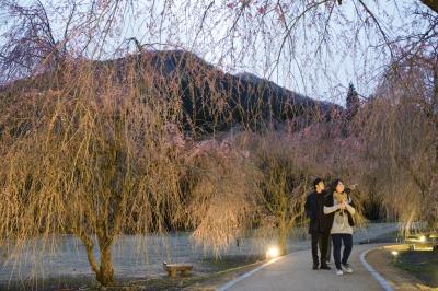 ライトアップされたしだれ桜を鑑賞する来場者=11日、坂井市丸岡町のたけくらべ広場