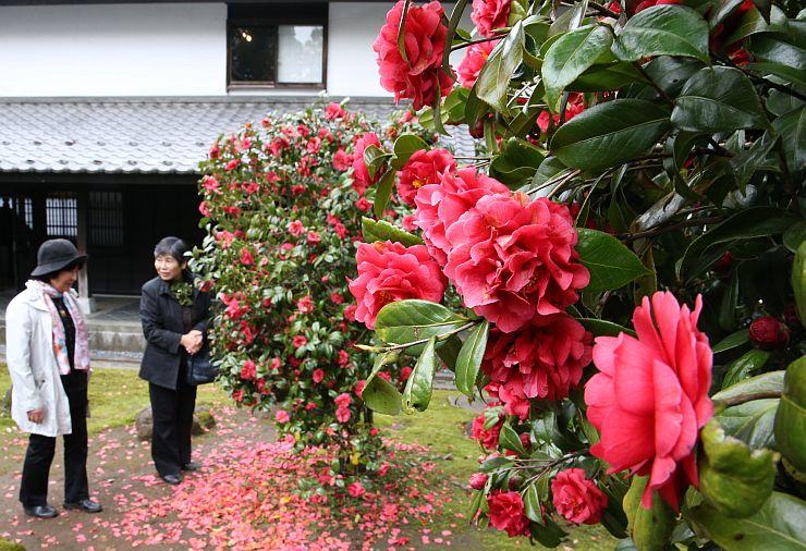 見頃を迎えた坂口記念館の雪椿園=9日、上越市頸城区鵜ノ木