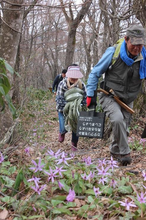 カタクリが咲き始めた六万騎山で登山道の整備を進める保存会メンバー=10日、南魚沼市