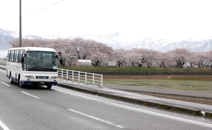 舟川べりの桜並木の近くを走る臨時バス