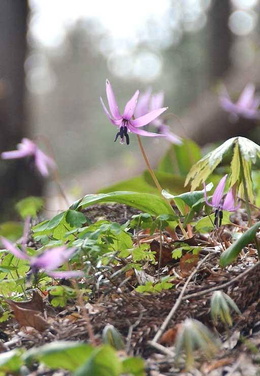 津金寺境内でうつむくように咲くカタクリ