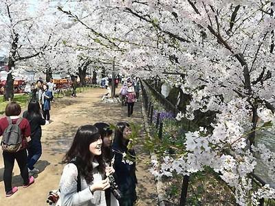 池を囲む桜の回廊 須坂・臥竜公園で春を満喫