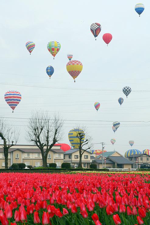チューリップが咲く砺波平野に浮かぶ熱気球=砺波市内