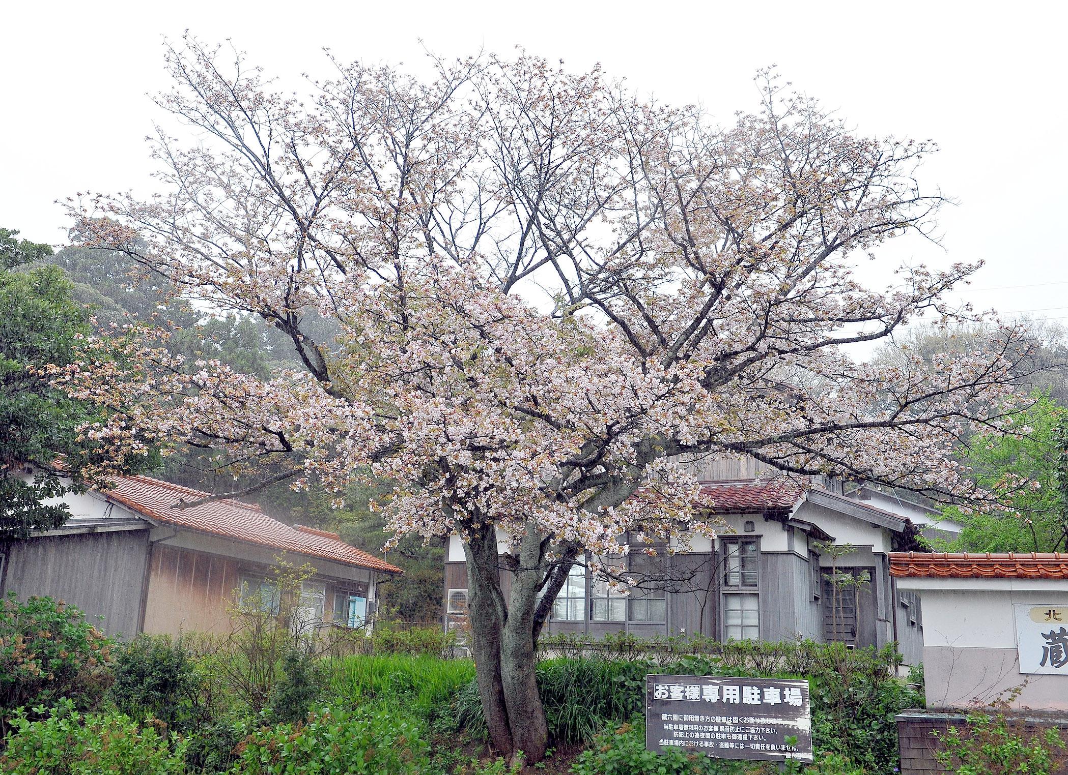 新品種であることが分かった菊咲き性のサクラ=加賀市橋立町