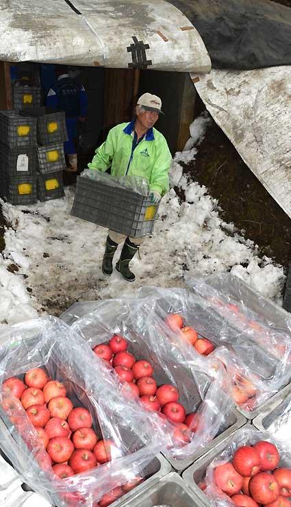 雪室から取り出された「雪中りんご」