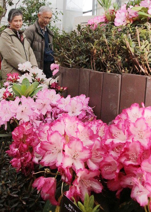 色とりどりの花や甘い香りが来場者を楽しませているシャクナゲ・ツツジ展=21日、新潟市秋葉区金津の県立植物園