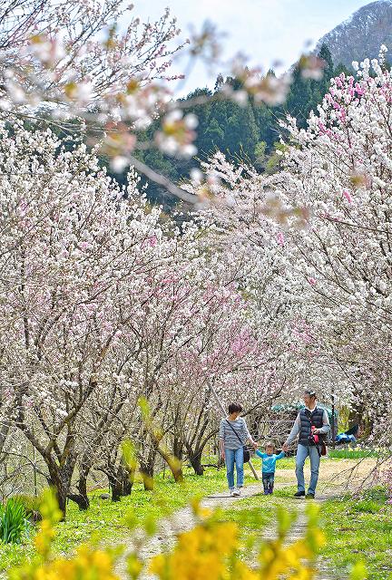 陽気に誘われ紅白の花を咲かせ始めたハナモモ=22日、福井県大野市西勝原