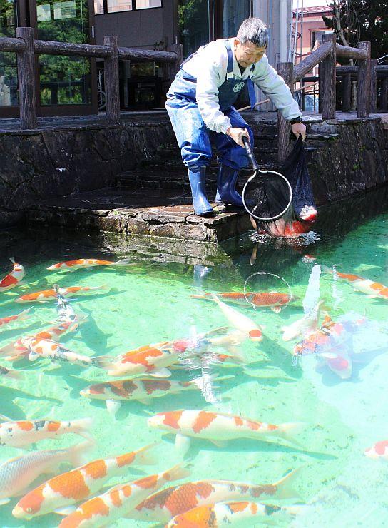 屋内から庭園の池に移された錦鯉=22日、小千谷市