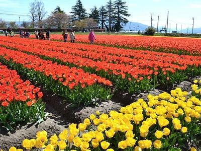 色とりどり春光浴びて 五泉、チューリップ見頃