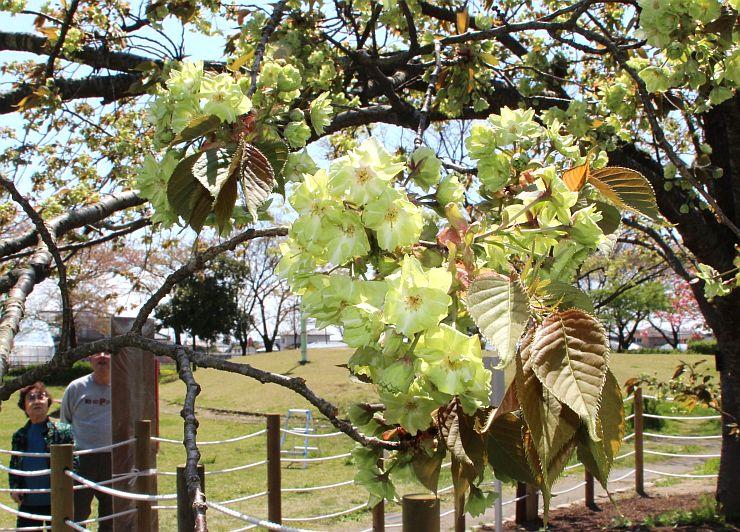 見頃を迎えた北山池公園の緑の桜「御衣黄」=23日、新潟市江南区