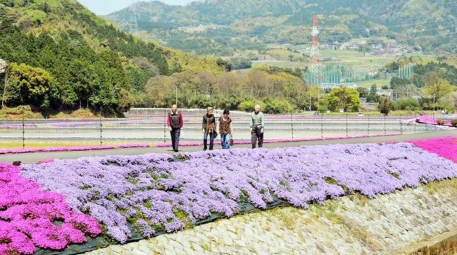 新緑に囲まれた田園に咲き誇るシバザクラ=高浜町横津海