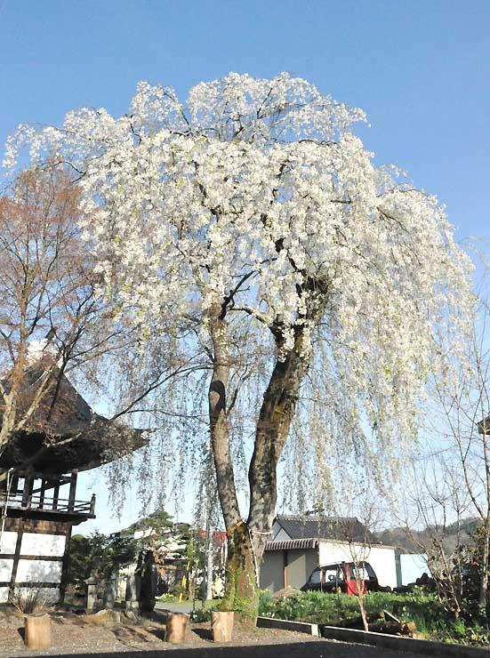 長谷寺に咲くシダレザクラ