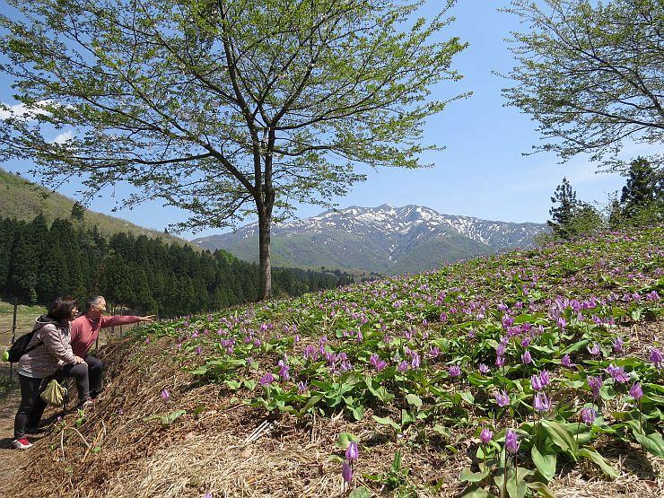 粟ケ岳を背景に咲き誇るカタクリ=24日、三条市