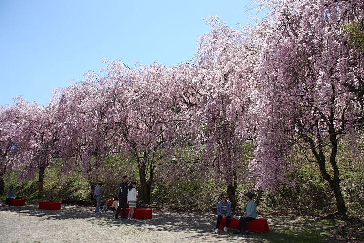 見頃を迎えたしだれ桜が立ち並ぶ中継桜まつり=26日、村上市