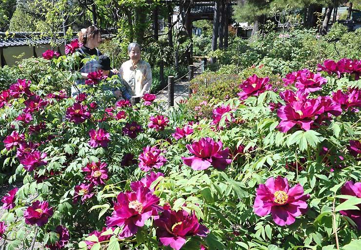境内で咲き始めたボタンの花を楽しむ人たち=30日午後2時1分、松本市大村の玄向寺